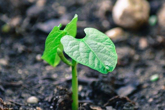 rostlinka fazole