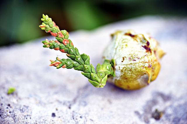 naklíčené semeno