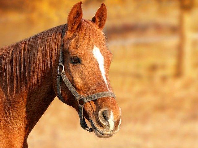 koňská ohlávka