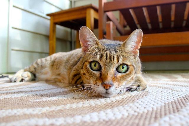 kočka ležící na koberci